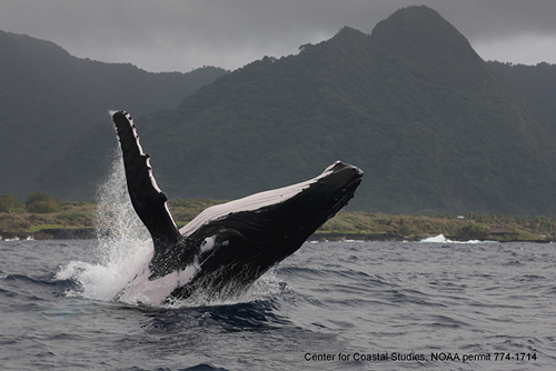 A humpback whale breaches off American Samoa, a study site in the South Pacific. One of the sources of samples in this study was skin shed by breaching whales. Image was taken by Provincetown Center for Coastal Studies under NOAA permit 774-1714 and the approval of the Government of American Samoa. (Provincetown Center for Coastal Studies)