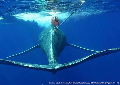 This humpback whale was entangled in fishing gear during its entire migration from the Bering Sea (off Alaska) to Hawaii, and the bacteria residing on skin of this and other entangled or deceased whales were found to contain fewer core members and more potential pathogens than the healthy animals. Image and sample taken courtesy of Edward Lyman, Hawaiian Islands Humpback Whale National Marine Sanctuary and NOAA's Marine Mammal Health and Stranding Response Program, Permit #932-1489. (Hawaiian Islands Humpback Whale National Marine Sanctuary)