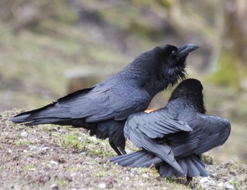 Interaktion zweier Raben. (Image copyright: Georgine Szipl)