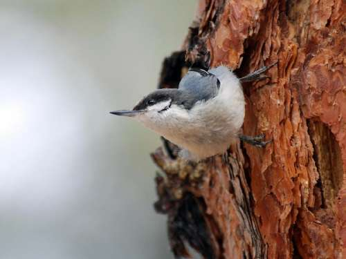 The pygmy nuthatch has a strong and almost exclusive preference for long- needled pines including ponderosa, Jeffrey, and similar species. It depends on cavities for nesting and roosting and has clear seasonal cavity preferences, related to thermal insulation and ventilation. Seventy percent of nest cavity openings face southward, others face south and east, away from prevailing winds. Selection of the roost cavity is affected by weather and by characteristics of the cavity (such as type of wood, thickness of bole, size of entrance, and depth of cavity) that afford protection from outside ambient temperatures. Temperature and presence of snow influence both time of roosting and size of roost flock. Flocks roost earlier as temperatures drop and flock size increases when snow covers ground. While roosting they use protected sites, huddling, and hypothermia for energy-saving mechanisms. The pygmy nuthatch feeds almost exclusively in pines and eats weevils, leaf and bark beetles, and pine seeds. Energy assimilated increases with rising ambient temp and barometric pressure, and decreases with higher wind speeds and precipitation. Temperature and wind speed have greatest effect - individuals are less active on colder and windier days, when they are more apt to roost in the shelter of a branch or in a cavity. Image credit: National Park Service
