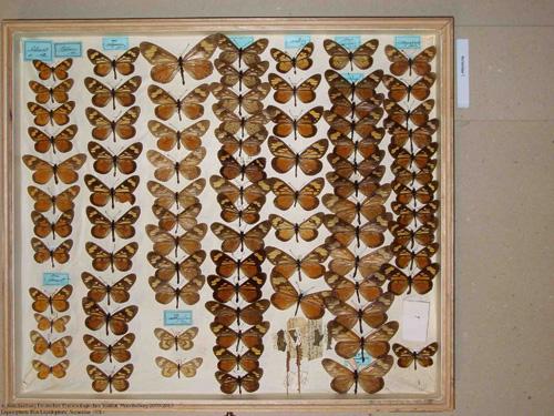 Sammlungskästen mit Schmetterlingen. Image credit: © SDEI