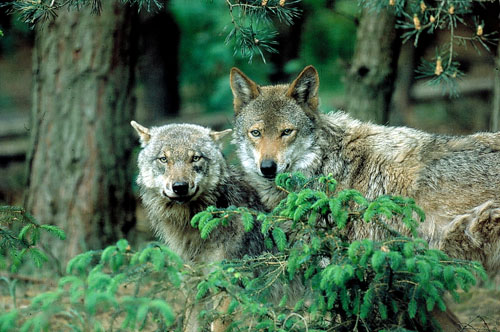 Zwei Wölfe. Foto credit: NABU/S. Zibolsky