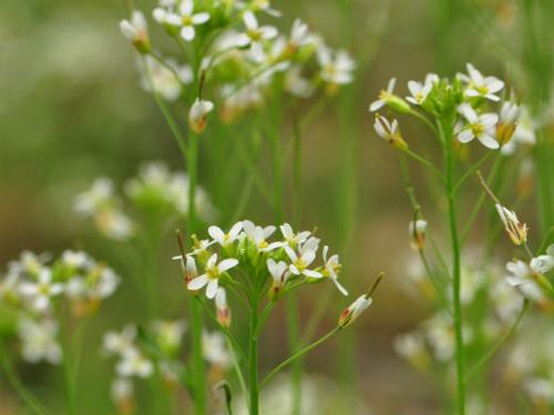 Acker-Schmalwand (Arabidopsis thaliana). Image credit: Universität Wien