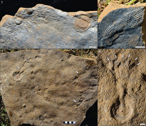 Deep-water Ediacaran fossils from the Mackenzie Mountains, NW Canada, Narbonne et al. 1. Hiemalora (left); and Aspidella (right); 2, Namalia Germs, 1968; 3, Primocandelabrum Hofmann, O'Brien and King, 2008 with Aspidella-like holdfasts, several of which exhibit stems or fronds; 4, close-up of Primocandelabrum showing an Aspidella-like disc at its base and candelabra-like branches at the distal end of the preserved frond. Scale bars represent 1 cm or 1 cm increments. Image credit: University of Missouri