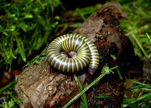 Der bunte Anadenobolus monilicornis wurde nur im Zoo Leipzig entdeckt. Foto credit: Peter Decker