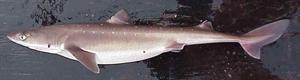 Dornhai (English: Spiny Dogfish). Image credit: NOAA (Source: Wikipedia)