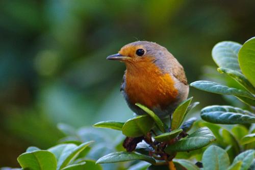 Untersucht wird, wie Klimaveränderungen die Entstehung von Zug- und Standvogelarten (hier: Rotkehlchen innerhalb von Vogelgruppen beeinflussen.). Image credit: Dwagener (Source: Wikipedia)