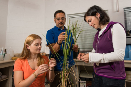 UD researchers Harsh Bais, Carla Spence (left) and Nicole Donofrio examine rice plants. They have identified a naturally occurring microbe in soil that inhibits the devastating rice blast fungus. Photo by Kathy F. Atkinson