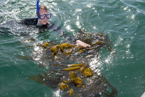 A graduate student in the marine biology program at Cal State Long Beach collects kelp in the waters off of Long Beach during Kelp Watch 2014's initial collection of samples. – Photo by David J. Nelson/Cal State Long Beach