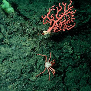 Koralle auf Seeberg. Image credit: © NOAA Monterey Bay Aquarium Research Institute