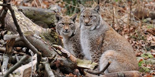 Luchse. Image credit:© Ralph Frank / WWF