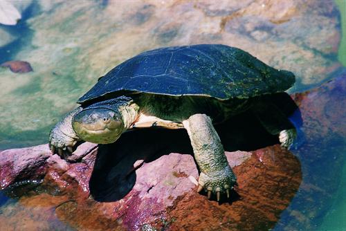 Die größte Art, Pelomedusa galeata, gibt es nur in Südafrika. Sie ist dunkel gefärbt und wird mit Panzerlängen von teilweise über 30 cm deutlich größer als alle anderen Pelomedusa-Arten. Foto: W.R. Branch