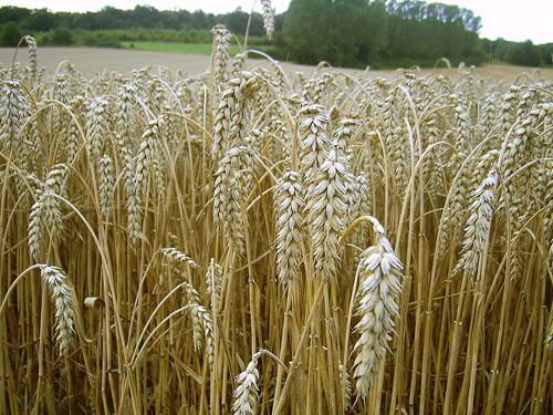 Stickstoff ist ein unersetzlicher Nährstoff für Nutzpflanzen wie hier den Weizen, zugleich aber auch ein Umweltrisiko. Image credit: H.-J. Sydow (Source: Wikipedia)