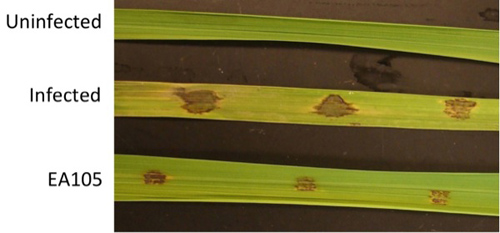 This image shows, from top, rice that is not infected with the rice blast fungus; rice infected with rice blast; and infected rice treated with the beneficial microbe Pseudomonas chlororaphis EA105. Photo by Kathy F. Atkinson
