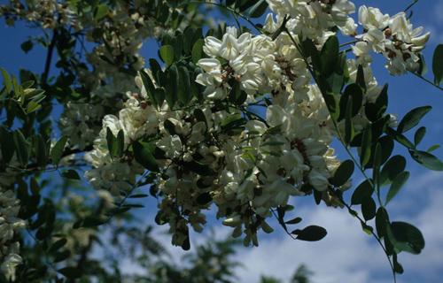 Schön, aber leider problematisch: Die im Mai blühende und aus Nordamerika stammende Robinie verändert die von ihr besiedelten Magerwiesen und Eichenwälder massiv, so dass die Artenvielfalt massiv schwindet. Diese Auswirkungen lassen sich mit der nun veröffentlichten Bewertungsmethode klassifizieren. (Image copyright Franz Essl)