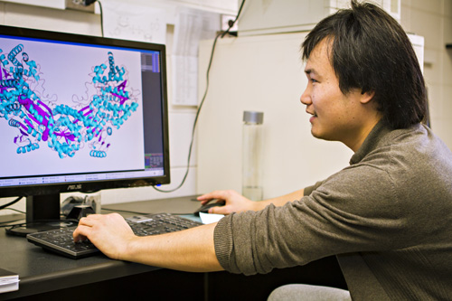3D model of enzyme. An MU graduate student studies the 3D model of PutA created by the MU researchers. Image credit: Kyle Spradley