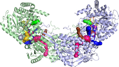 PutA Enzyme Model.This is a 3D model of the PutA enzyme created from Tanner's research. Image credit: University of Missouri