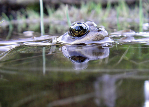 Cascades frogs, found only at high elevations in three states, will face a hard future where trout dominate high mountain lakes and climate change dries up many of the shallower waterways such amphibians have been using. Image credit: M Ryan/U of Washington