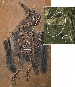 Der fossile Vogel mit seinem aufschlussreichen Mageninhalt (Ausschnitt). Image credit: © Senckenberg (Click image to enlarge)
