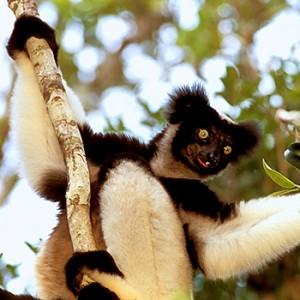 Der Indri lebt auf Madagaskar. Image credit: © R.Isotti, A.Cambone - Homo Ambiens / WWF-Canon