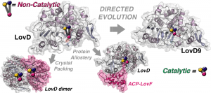 Directed evolution of the LovD enzyme yields a variant with 29 mutations that does not require a carrier protein to produce the anti-cholesterol drug simvastatin. As observed by microsecond molecular dynamics simulations, the mutated enzyme LovD9 spends more time in an active configuration that allows the simvastatin-producing reaction to proceed. Image credit: UCLA/Codexis (Click image to enlarge)