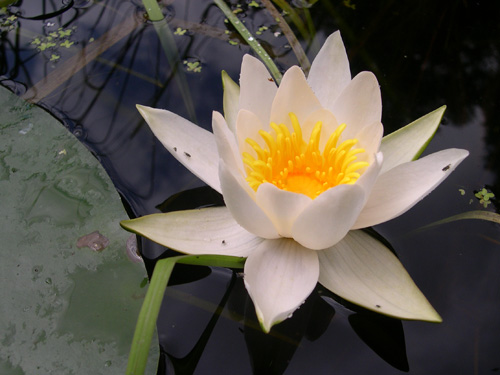 """Die """"echte"""" Weiße Seerose Nymphaea alba und..Image credit: © Senckenberg"""
