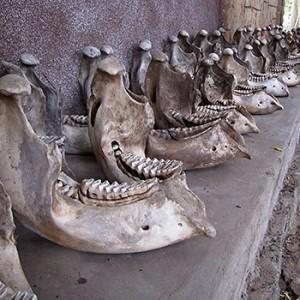 Elefantenschädel im Quirimbas Nationalpark. Image credit: © WWF Mozambique