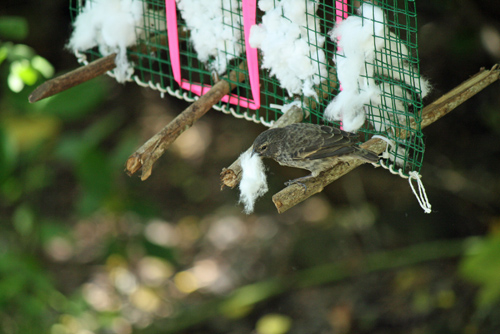A finch in Ecuador's Galapagos Islands pulls a cotton ball from a dispenser set out by scientists. A University of Utah study showed that when the cotton is treated with permethrin – a mild pesticide used in human head-louse shampoo – and the birds use the cotton in their nests, blood-sucking fly maggots are killed, thereby protecting the finches and their offspring that often fall prey to the maggots. A finch in Ecuador's Galapagos Islands pulls a cotton ball from a dispenser set out by scientists. A University of Utah study showed that when the cotton is treated with permethrin – a mild pesticide used in human head-louse shampoo – and the birds use the cotton in their nests, blood-sucking fly maggots are killed, thereby protecting the finches and their offspring that often fall prey to the maggots. Photo Credit: Sarah Knutie, University of Utah