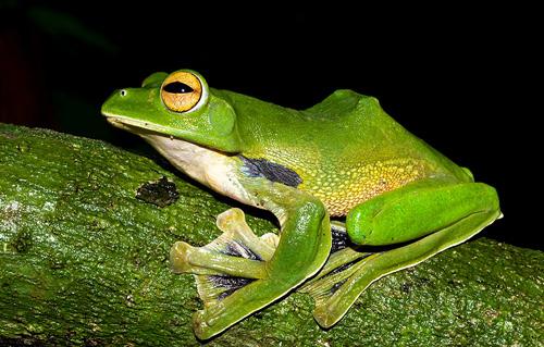 Helens Fliegender Frosch. Image credit: © Jodi JL Rowley / Australian Museum / WWF