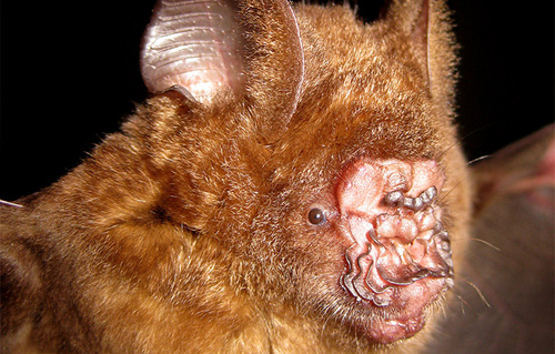Griffin`s Fledermaus. . Image credit: © Vu Dinh Thong / Institute of Ecology and Biological Resources Hanoi / WWF