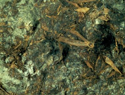 In den Fäzes-Proben der Bergleute sind noch ganze Getreide-Ährchen sichtbar. (Foto credit: Institut für Botanik)