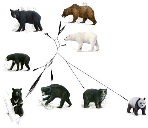 Phylogenetisches Netzwerk, das die Verwandtschaft aller noch existierenden Bärenarten darstellt. Image copyright: BiK-F