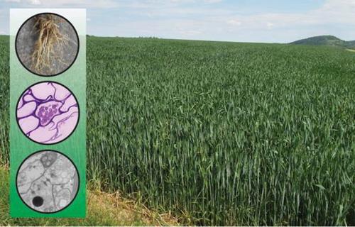 Weizenfeld; gereinigte Wurzeln (oben); Serendipita herbamans in Rindenzellen: lichtmikroskopische Aufnahme(Mitte); transmissionselektronenmikroskopische Aufnahme (unten). Image credit: Riess