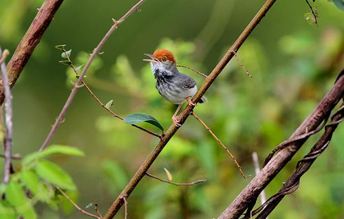 Orthotomus chaktomuk. Image credit: © James Eaton / Birdtour Asia / WWF