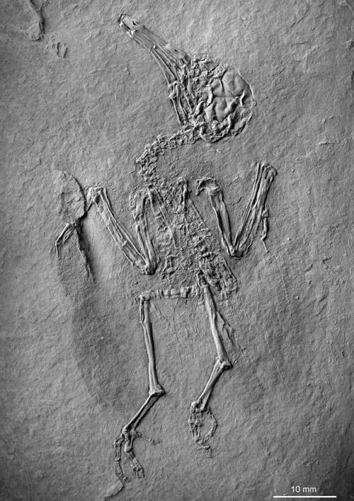 Das in Messel gefundene Skelett des blütenbestäubenden Vogels. Image credit: © Senckenberg