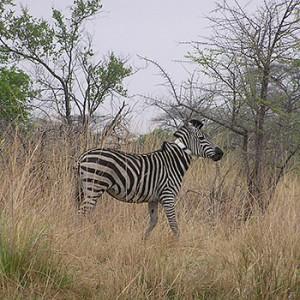 Zebra mit Satellitenhalsband. Image credit: © Robin Naidoo / WWF