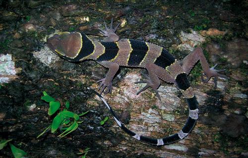 Cyrtodactylus phuketensis. Image credit: © Montri Sumontha / WWF