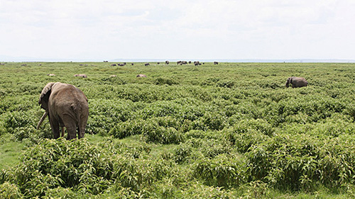 """The Sodom apple has overrun vast swaths of East African savanna and pastureland. In this photo from Kenya's Amboseli National Park, the Sodom apple is the tall bushy plant. Although the plant is toxic to grazing animals such as sheep and cattle, """"browsers"""" such as elephants and impalas are unaffected by the plant's poison. Just as the governments of nations such as Kenya prepare to pour millions into eradicating the plant, the Princeton findings present a method for controlling the Sodom apple that is cost-effective for humans and beneficial for the survival of African elephants. (Photo by Tyler Coverdale, Department of Ecology and Evolutionary Biology)"""