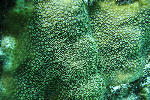 A study by researchers from UD and Ohio State University is looking at coral. Photograph courtesy of Ohio State University