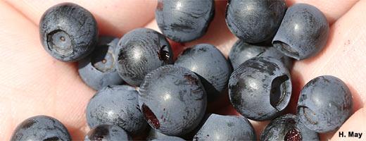 Selbstgepflückt schmeckt am besten: Die Heidelbeersaison dauert von Juli bis September. Image credit: NABU.de