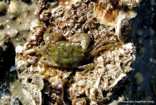 Ihr Artstatus konnte mit Hilfe der Barcoding- Datenbank geklärt werden: Die Krabbe Hemigrapsus takanoi. Image credit: © Alexandra Sehgelken-Voigt