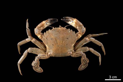 Auch die Krabbe Necora puber – ursprünglich im atlantischen Raum beheimatet – fühlt sich in der Nordsee wohl. Image credit:© Senckenberg/Tränkner
