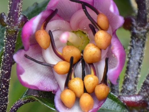 Eine Blüte von Axinaea affinis. Die gelben kugelförmigen Staubblattanhängsel (Blasebalg-Organe) erzeugen einen starken visuellen Kontrast zu den rosa gefärbten Kronblättern. Der Pollen befindet sich gut versteckt in den schwärzlichen, länglichen Antheren, die mit den Staubblattanhängseln verbunden sind (Image copyright: Agnes Dellinger).