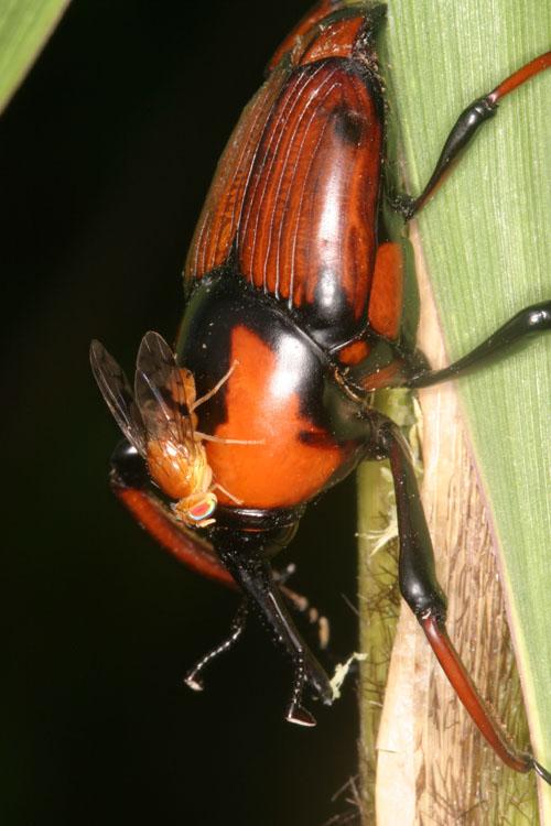 Warten auf den richtigen Moment zur Eiablage: Die Bohrfliege Paraxarnuta anephelobasis auf dem Rücken des Rüsselkäferweibchens Cyrtotrachelus. Image credit: © Senckenberg