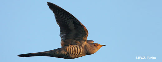 Kuckucke sind ausdauernde Flieger. Image credit: NABU.de