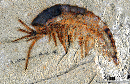The larval stage of a 520 million-year-old chelicerate, which had different characteristics in its main feeding limb. Image credit: Yale University