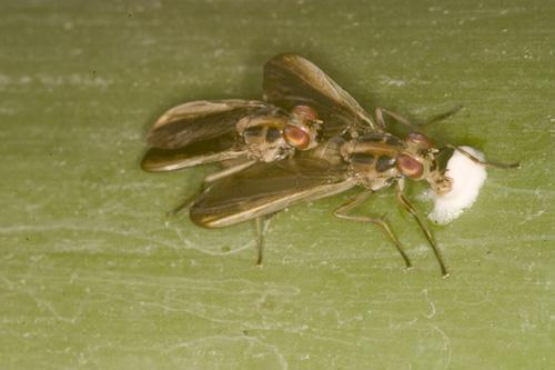 """Während der Paarung frisst das Bohrfliegenweibchen an ihrem """"Brautgeschenk"""". Image credit: © Senckenberg"""