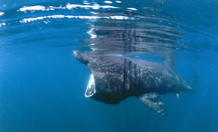 The study is the first known to use satellite tagging technology to track the near real-time movements of basking sharks. Image credit: University of Exeter