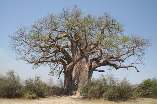 Affenbrotbäume sind vielleicht die charakteristischsten Bäume des tropischen Afrikas. Sie werden vielfältig genutzt und können ein Alter von etwa 1000 Jahren erreichen. Image credit: © M. Schmidt