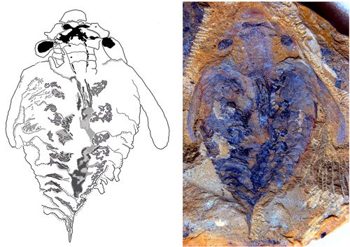 This photograph and corresponding drawing show the flattened, fossilized trace of the brain of the world's earliest known predator; the X-like structure in the head denotes the fossilized brain. Two dark round spots represent the optic ganglia with nerves that lead from the eyestalks into the head. The smaller, almond-shaped areas just in front would have innervated the creature's grasping appendage. The main brain region is in front of the mouth, giving rise to two nerve cords leading down along the animal. Image credit: University of Arizona